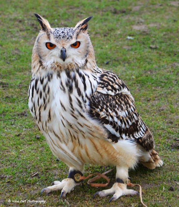 Siberian Eagle Owl 3