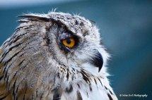Siberian Eagle Owl 1