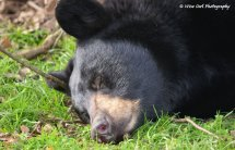 Sleepy Black Bear