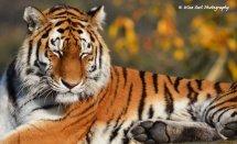 Sleepy Tigress
