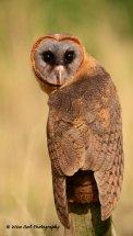 Smokey Faced Owl 1
