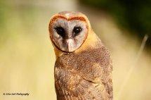 Smokey Faced Owl 6