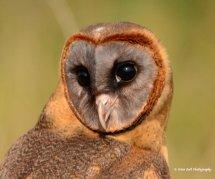 Smokey Faced Owl 2