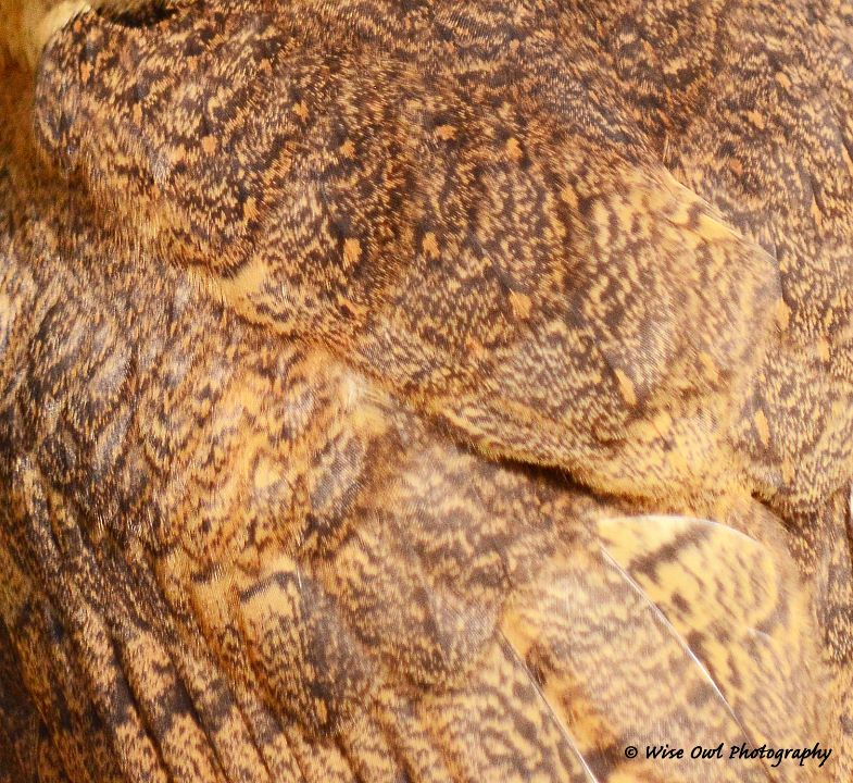 Smokey Faced Owl Feathers 1