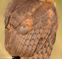 Smokey Faced Owl Feathers 2