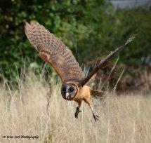 Smokey Faced Owl 5