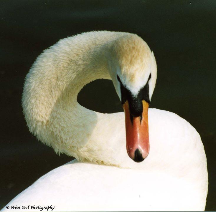 Summer Swan