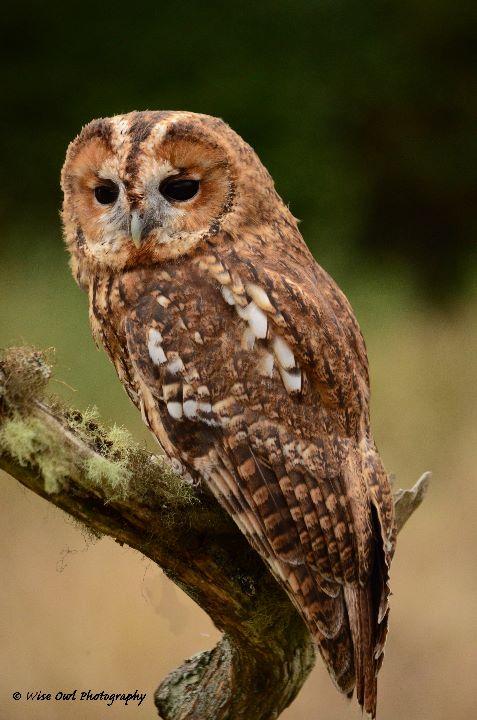 Tawny Owl 3