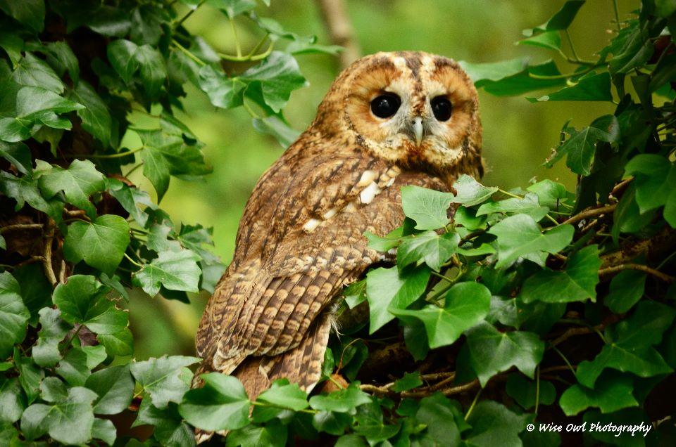 Tawny Owl 4