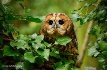 Tawny Owl 5