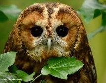 Tawny Owl 6