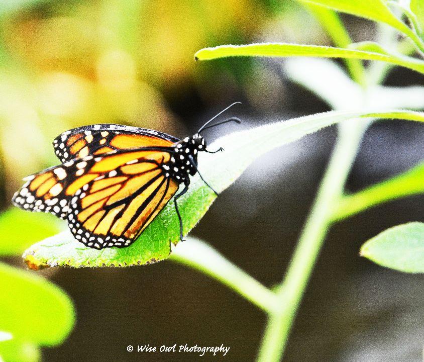 The Monarch 1