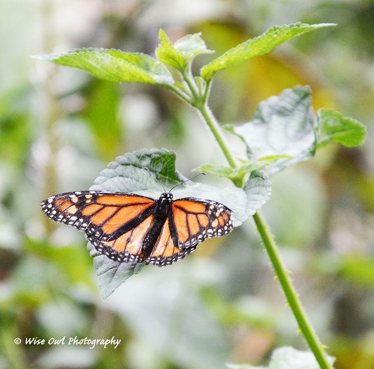 The Monarch 2