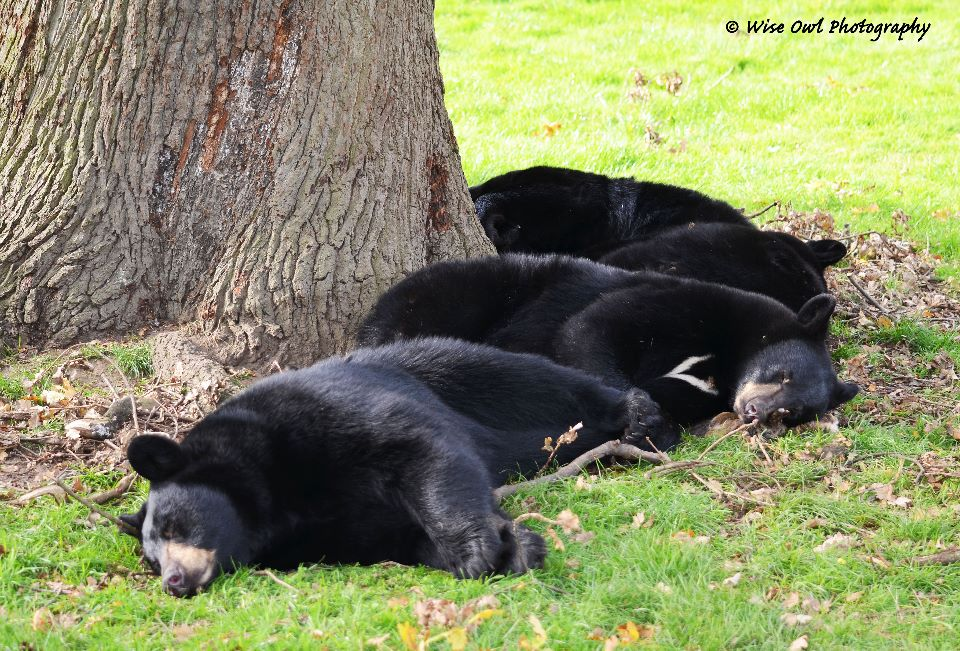 Three Black Bears - No Goldilocks