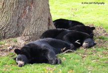 Three Black Bears - No Goldilocks