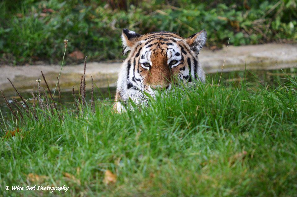 Tigress - Peeping