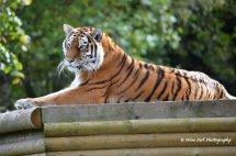 Tigress 11