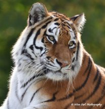Tigress 12