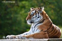 Tigress 13
