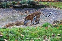 Tigress 4
