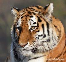Tigress 5