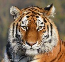 Tigress 7