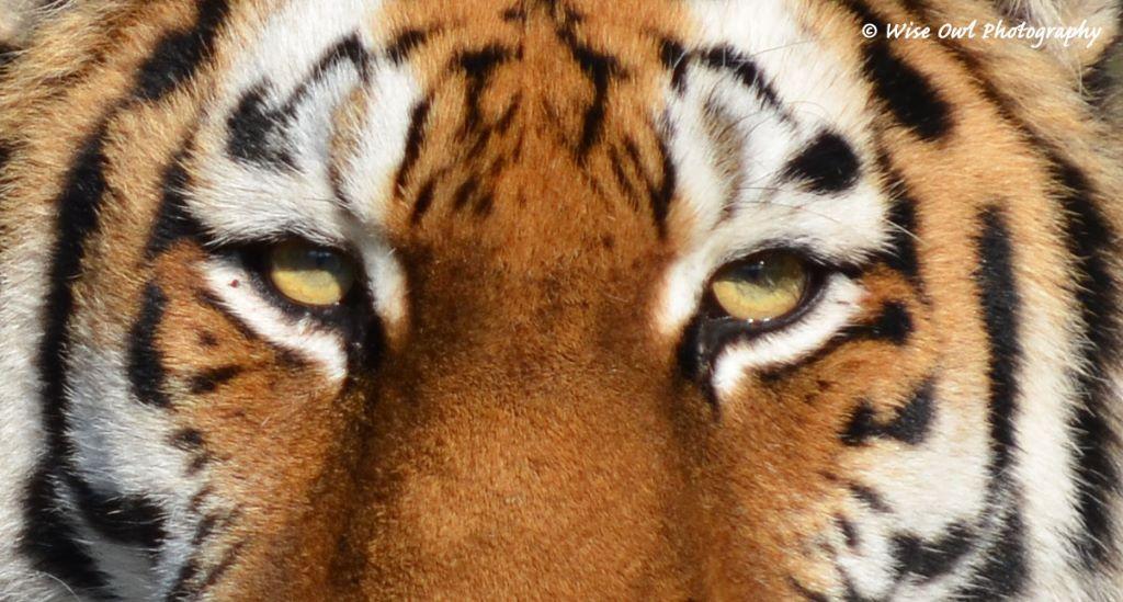 Tigress 8