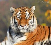 Tigress 9