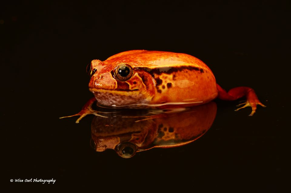 Tomato Frog 4