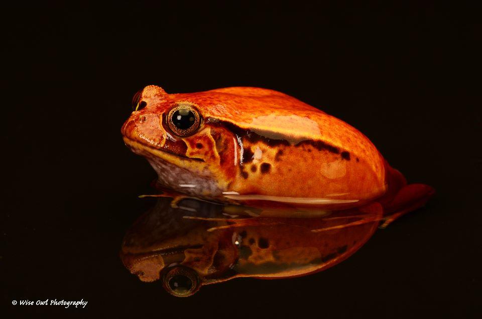 Tomato Frog 5