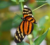 Unidentified Butterfly 1