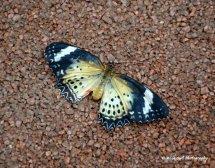 Unidentified Butterfly 2