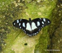 Unidentified Butterfly 4