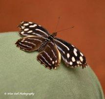 Unidentified Butterfly 5