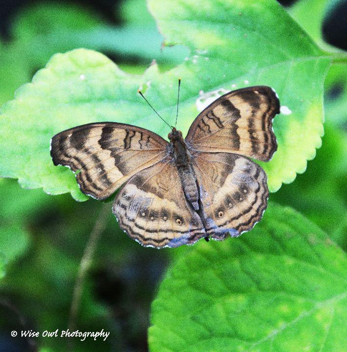 Unidentified Butterfly 6