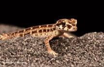 Viper Gecko 2