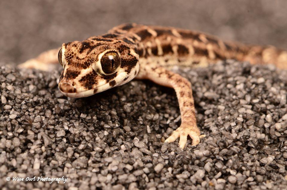 Viper Gecko 3