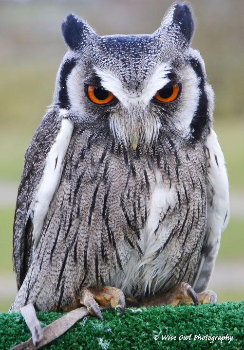 White Faced Scops Owl 5