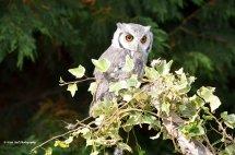White Faced Scops Owl 1