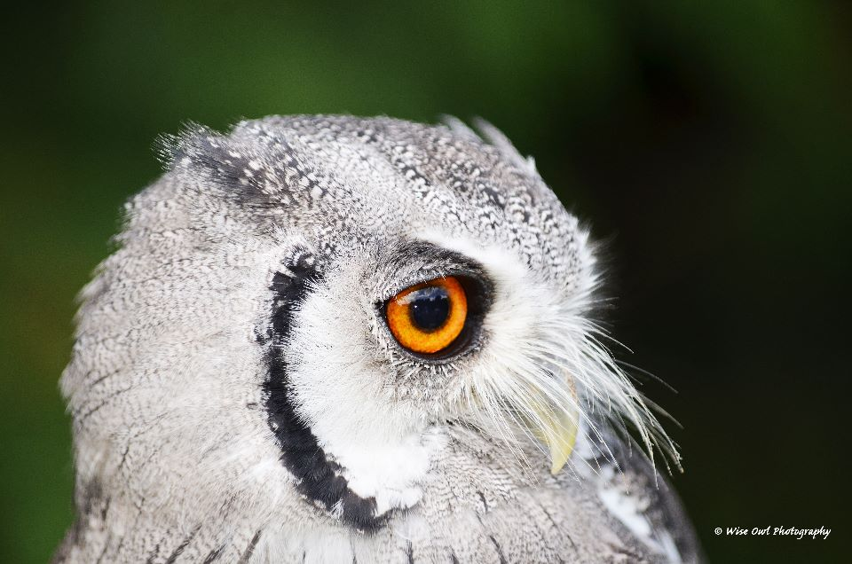 White Faced Scops Owl 2