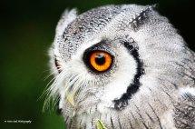 White Faced Scops Owl 3