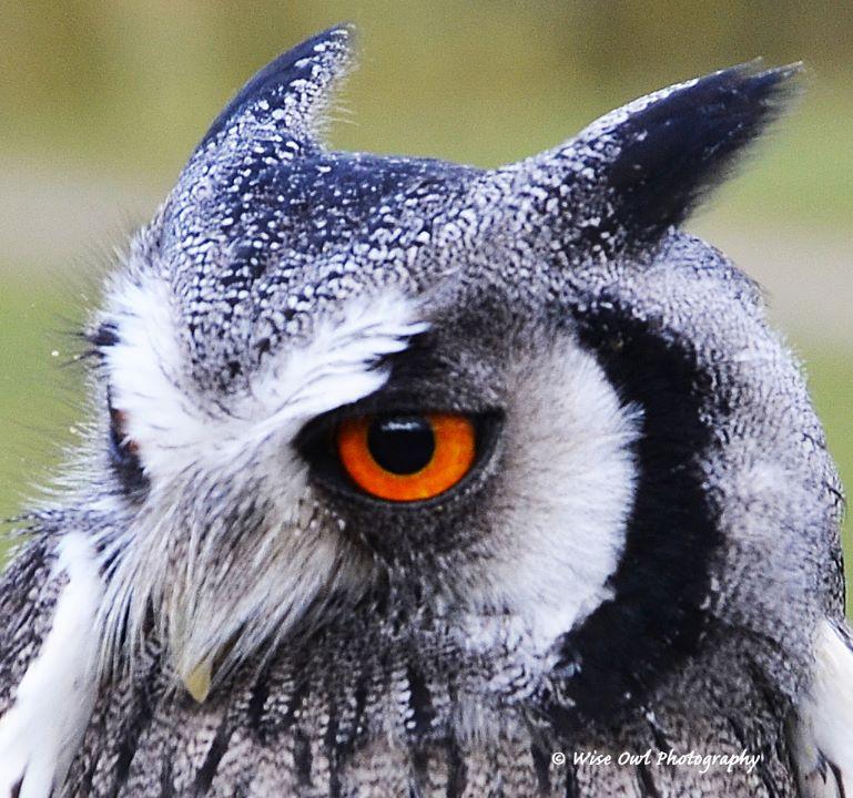 White Faced Scops Owl 4