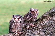 White Faced Scops Owl Pair