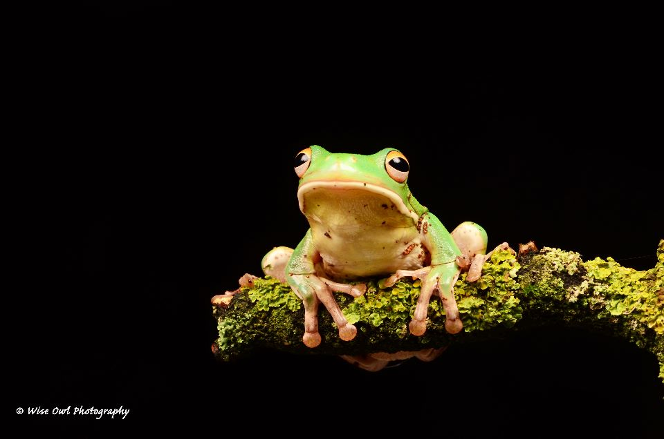White Lipped Tree Frog 1