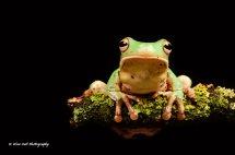 White Lipped Tree Frog 2