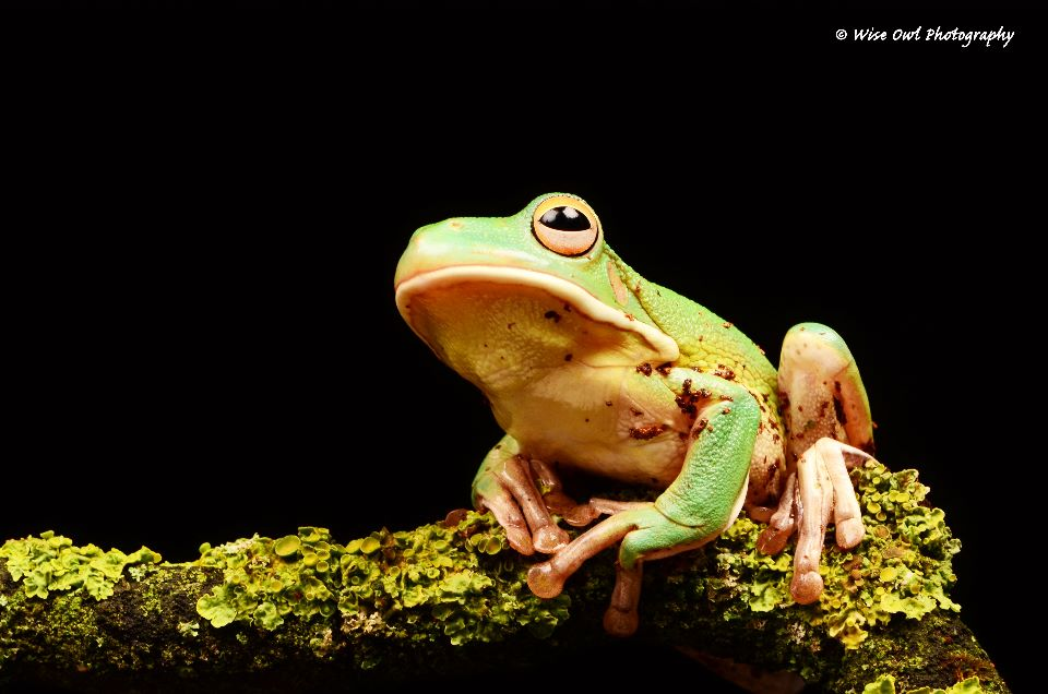 White Lipped Tree Frog 3