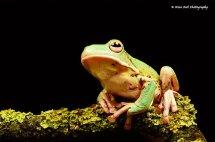 White Lipped Tree Frog 3