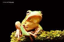 White Lipped Tree Frog 4
