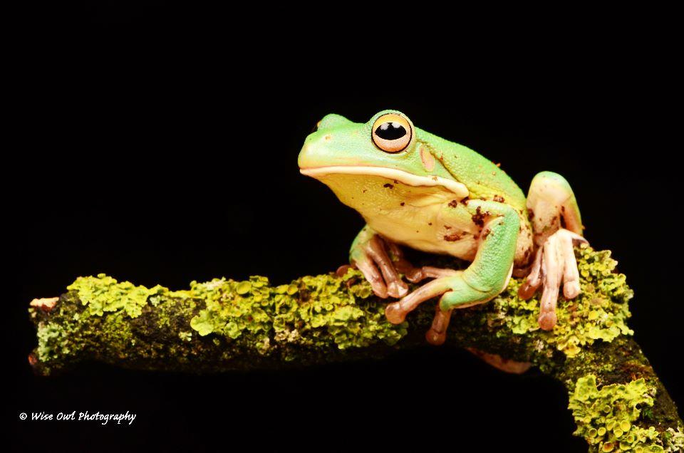 White Lipped Tree Frog 5