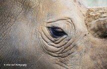 White Rhino Eye